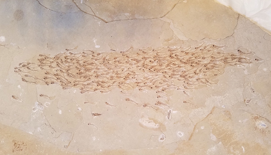 Limestone fossil slab perfectly captures a swimming school of fish