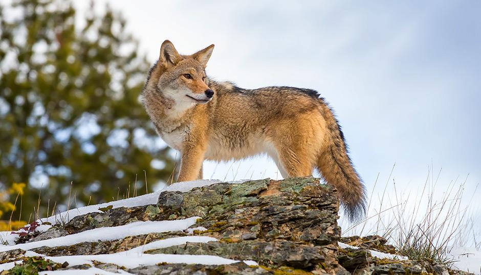 Trickster, varmint, wolf