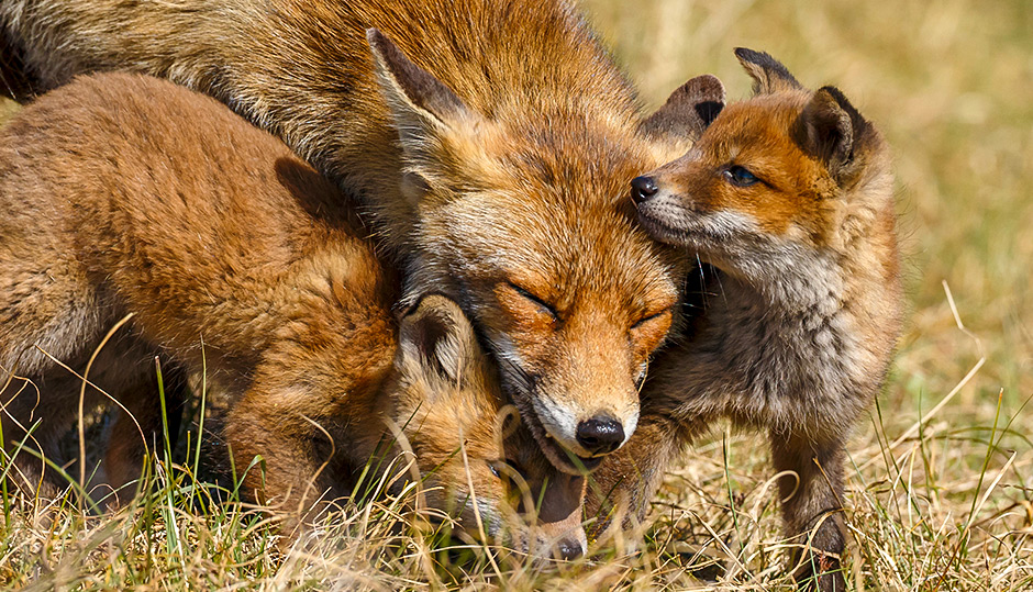 The red fox and post-Flood migration