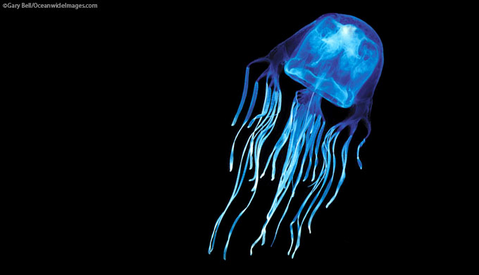 Skeptics challenge: a 'God of love' created a killer jellyfish?