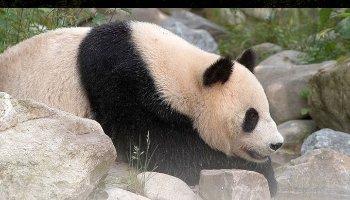 The panda thumbs its nose at the dysteleological arguments of the atheist Stephen Jay Gould