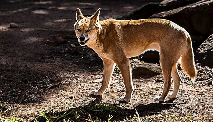 The Australian dingo—a wolf in dog's clothing
