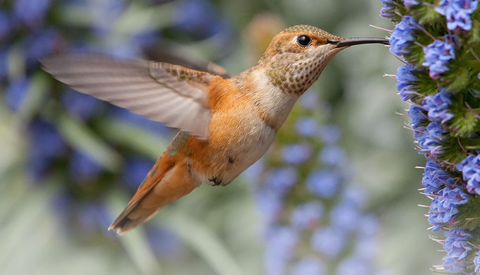 The hummingbird: God's tiny miracle