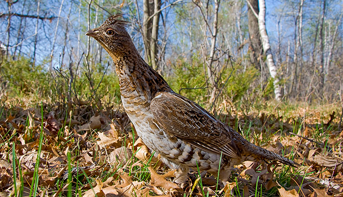 the remarkable ruffed grouse