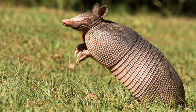 Amazing armoured armadillos of the Americas