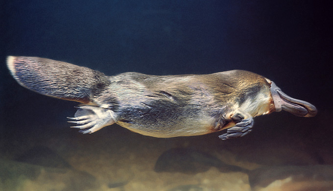Saltwater platypus surprise!