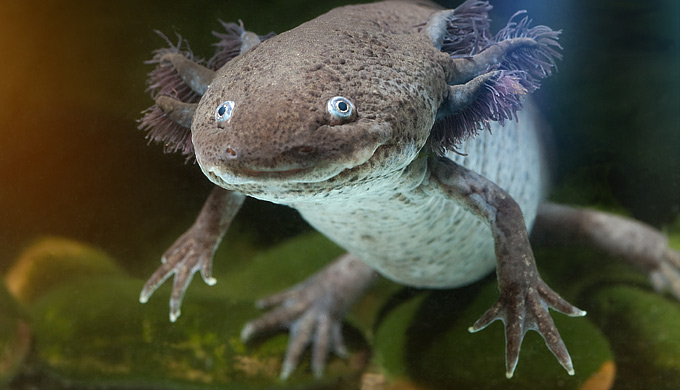 Salamanders are 'living fossils'!