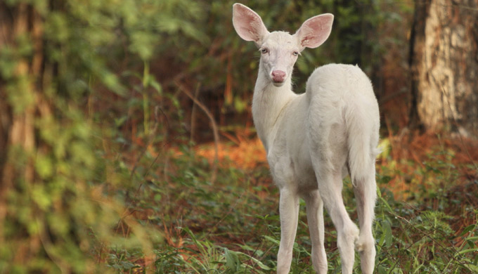 White Deer Creation