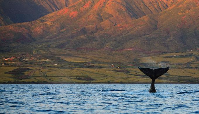 La fraude concernant l'évolution des baleines