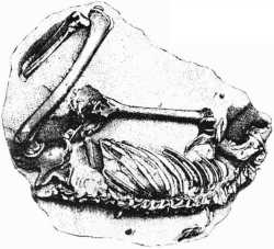 Image of fossilised human skeleton from Guadeloupe, the Paris specimen.