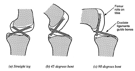 The irreducible mechanism of the knee