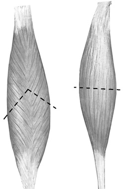 Orientation of the fibres in a bipennate muscle  and a fusiform