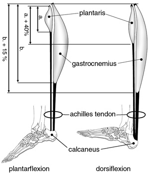 plantaris and gastrocnemius