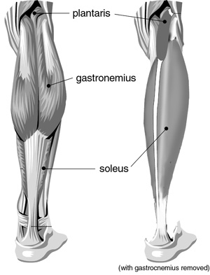 Arrangement of the triceps surae muscles of the posterior right leg.