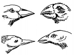 Variation in beaks