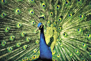 The plumage of the peacock