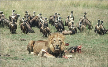 vultures lion