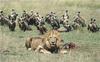 vultures lion