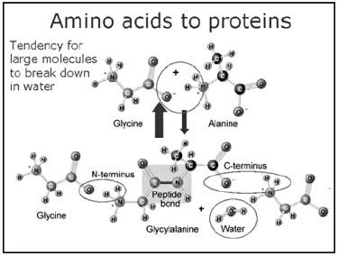 Amino acids to proteins