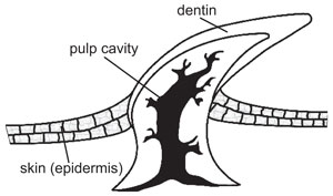 Cross-section of a shark dermal denticle
