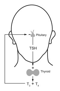 Human thyroid system, negative feedback loop