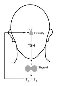 Human thyroid system, negative feedback loop