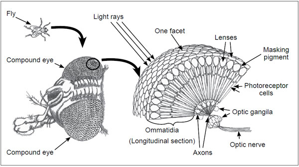 The compound eye of an insect