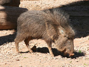 A Chacoan peccary Catagonus wagneri in Phoenix Zoo, Phoenix, AZ. This animal was once thought extinct and is similar to the peccary the Nebraska tooth came from.