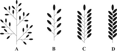 Transformation of a panicle into wheat.