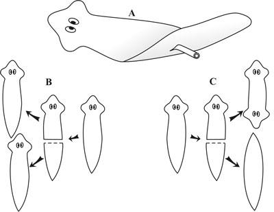 Planarian flatworm