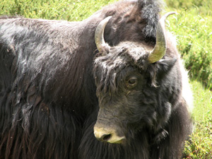 Being evolutionists, the authors fail to mention that limits to variation are also observed. Genetic adaptation to one environment can limit future adaptations to a different environment. The yak is well adapted to cold climates and high altitudes. Given the genetic changes it carries, it would not be expected that its descendants can become well adapted to hot environments like zebu cattle have.