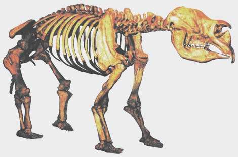 Uniformitarians believe that Diprotodon australis, one of the Australian Ice Age megafauna that died out towards the end of the Ice Age in Australia, went extinct about 40,000 years ago. The largest Diprotodon fossils found have been up to 3 m long and 2 m tall at the shoulder.