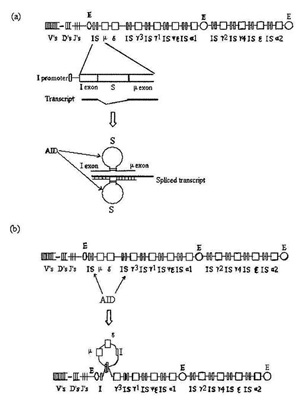 Organization of the human immunoglobulin heavy chain locus
