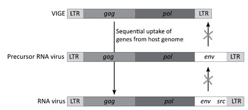 RNA viruses originate from VIGEs through the uptake of host genes.