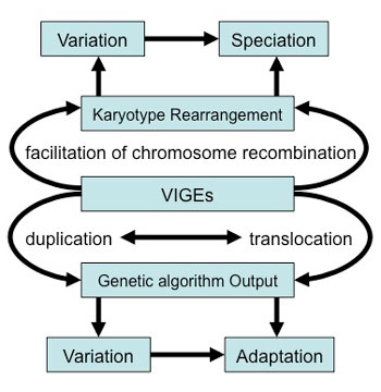 Schematic view of the central role VIGEs may play to generate variation, adaptations and speciation events. Lower part: VIGEs may directly modulate the output of (morpho)genetic algorithms due to position effects. Upper part: VIGEs that are located on different chromosomes may be the result of speciation events, because their homologous sequences facilitate chromosomal translocations and other major karyotype rearrangements.