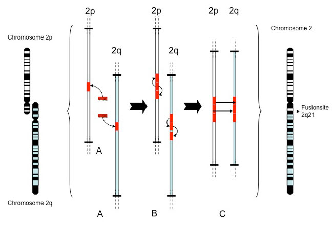 Putative mechanism how the human chromosome 2 formed through the fusion of two ancestral chromosomes p2 and q2, which are similar to chimpanzee chromosome 12 and 13