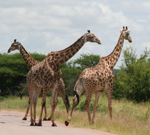 Dembski and Wells argue that the giraffe poses a problem for Darwinism: the individual components of the giraffe's 'adaptational package' do not serve any purpose until the whole system is in place. So how could natural selection have 'selected' for the giraffe's 'package'?