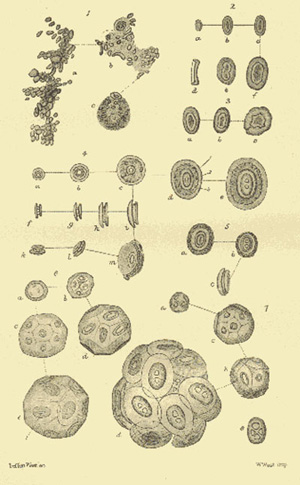 Drawings of Bathybius, top left, alongside various plankton.