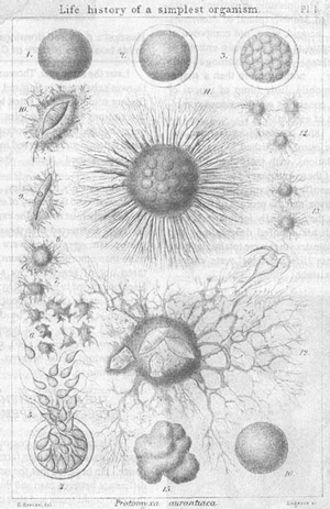 One such drawing used in Haeckel's book The History of Creation, of the life cycle of a fictional Moneron name, Protomyxa aurantiaca.