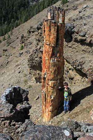 Four-metre tall petrified tree trunk vertical to layers of volcanic breccia at Specimen Creek, Yellowstone National Park, Montana.