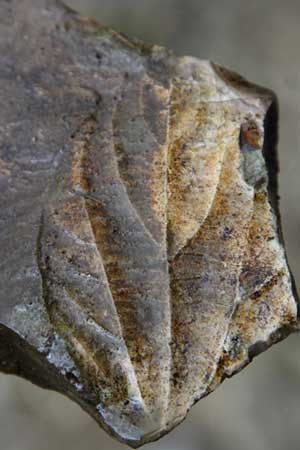 Well preserved leaf in one of the organic layers at Specimen Creek, Yellowstone National Park, Montana.