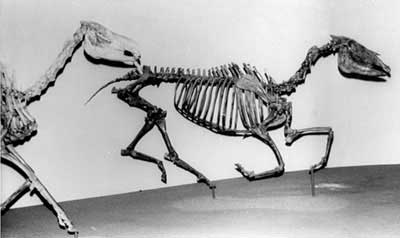 Figure 4. Two 'horses', Neohipparion (right) and Miohippus (left) from the Museum of Natural History in Los Angeles.