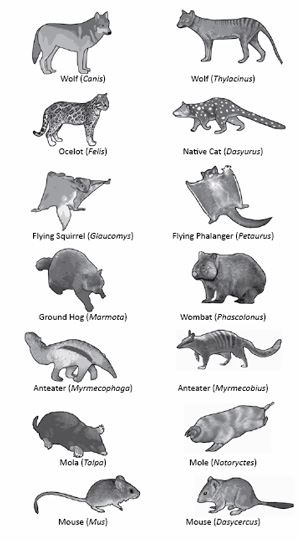 Placental mammals (left) and their marsupial counterparts (right)