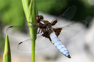 Dragonflies clearly have wings and fly, suggesting that they are from a baramin within the 'ôp (flyers) created on Day 5. The larval form (nymph) develops in the water.
