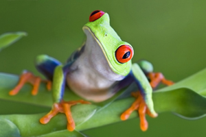 While most amphibians lay eggs directly in the water, the nocturnal red-eyed tree frog lays eggs on the underside of a leaf over a body of water. When the young develop to tadpoles, they hatch and drop to the water below to continue development. Since the adult phase lives primarily on land, it can be argued this frog is from a baramin created on Day 6 as a land animal.