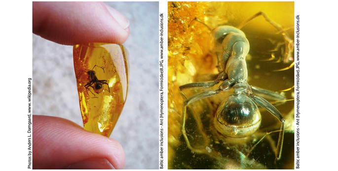 Baltic amber inclusions