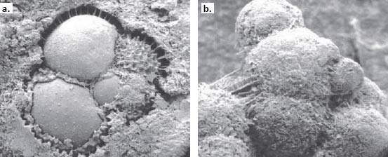 Electron micrographs of manganese micro-nodules from DSDP Leg 29, Site 278 formed by manganese replacement of foraminifera tests. a. fractured aggregate.