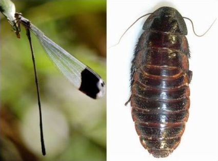 Figure 1. Megaloprepus caerulatus, the largest extant dragonfly species (left) and Macropanesthia rhinoceros, the largest extant cockroach species (right).