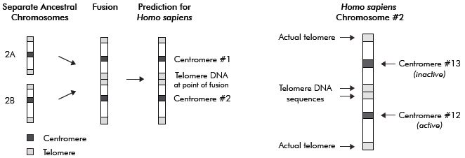Figure 1. Depiction of a hypothetical scenario where chimpanzee chromosomes 2A and 2B supposedly fuse to form human chromosome 2. The prediction is on  the left and the results, according to Miller ref. 4, pp. 106, 107, on the right. Miller's prediction was falsified, and thus the diagram on the left does not fit with the facts  shown in both parts 1 and 2 of this study.