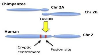 Figure 1. Depiction of a hypothetical scenario where chimpanzee chromosomes 2A and 2B supposedly fuse to form human chromosome 2. The two sites showing where the fusion occurred and an inactivated cryptic centromere are depicted.